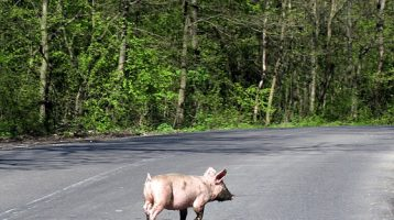 "How to Avoid ""The Pig in the Road"" of Life"
